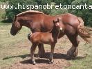 Vendo equinos de Pura Raza Bretona